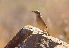 Long-billed pipit, Anthus similis, at Devon Grasslands, Gauteng, South Africa