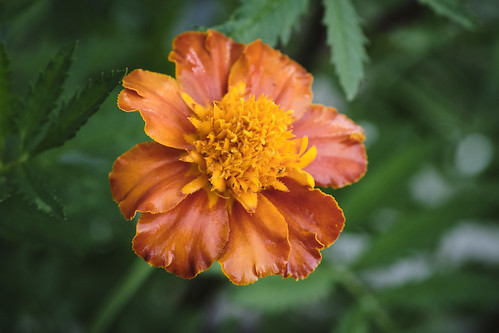 Punchy Vibrant Marigold - Open Shade