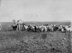 Mob of goats led by a lone camel, Birdsville, Queensland, 1906