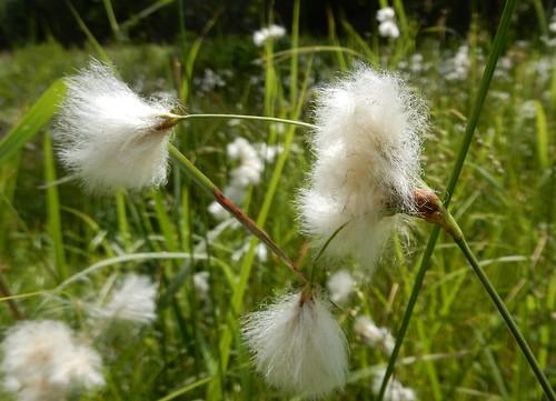 Conifer Cotton-grass (Eriophorum tenellum)
