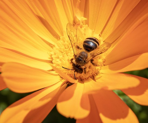 Bee in a Marigold