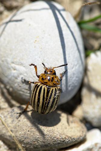 colorado beetle