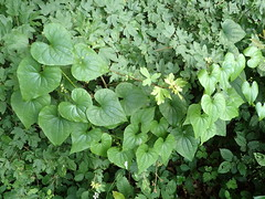 Dioscorea communis - Tamier commun ou Herbe aux femmes battues - Black bryony or Lady's-seal or Black bindweed - 23/06/19 - Photo of Soucirac