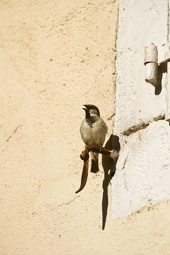 **House Sparrow**