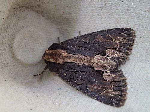Dypterygia scabriuscula in Berdun am Licht
