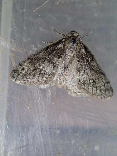 Tephronia sepiaria in Berdun - Totholz-Flechtenspanner