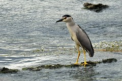 Bihoreau gris - Nycticorax nycticorax - Black-crowned night heron - Photo of Aucamville