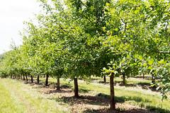 plum orchard