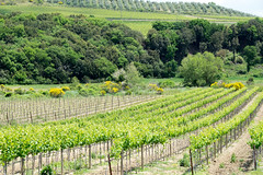 vineyard, trees. and orchard