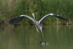 Image by peterspencer49 (35972709@N03) and image name Grey Heron photo  about Grey Heron trying out water skiing.