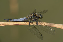 Image by peterspencer49 (35972709@N03) and image name Black-Tailed Skimmer photo