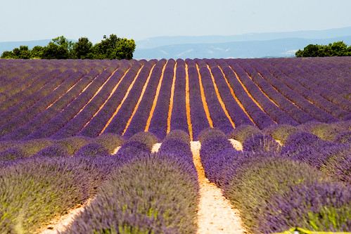 lavender_7881