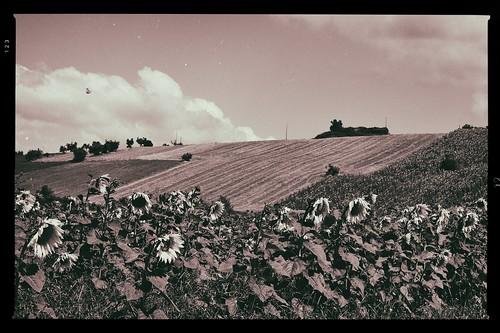 campo di girasoli (panorama)