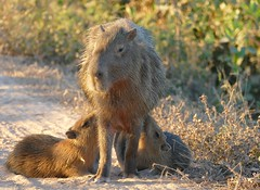 Capybaras (Hydrochoerus hydrachaeris) female with two youngs suckling ...