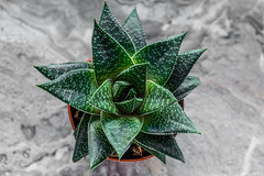 Succulent Haworthia on a gray background. Top view