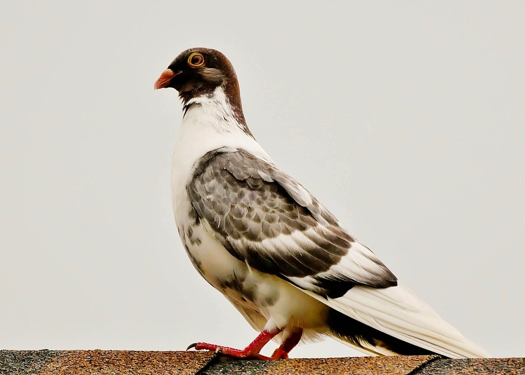 A Homing Pigeon - Download Photo - Tomato to - Search Engine