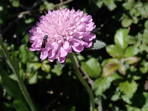 Auvergne-Witwenblume - Knautia arvernensis oberhalb Aisa