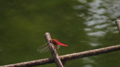 Libellula rossa palude di Torre Flavia