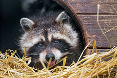Raccoon and straw