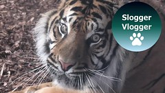 A Glimpse Of The New Addition To The Twycross Zoo The Sumatran Tiger
