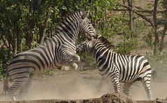 Plains zebra (common zebra or Burchell's zebra), Equus quagga at Kruger National Park, Limpopo, South Africa