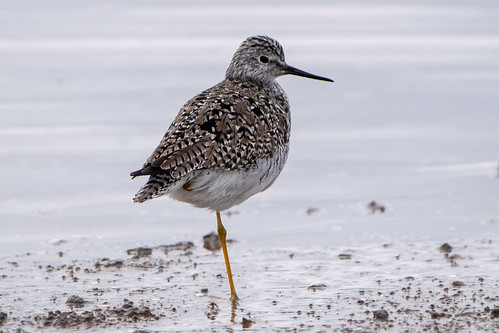 Pitotoy chico - Lesser yellowlegs