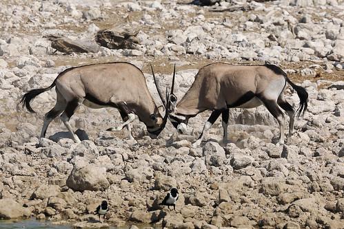 Oryxes,Etosha National Park, northwestern Namibia