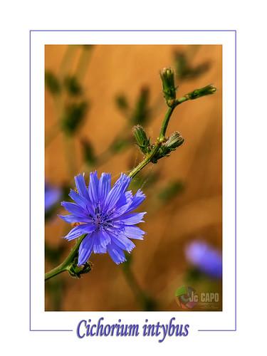 """Cichorium intybus:  """" l'intelligence des fleurs."""" : De Henry de Montherlant"""