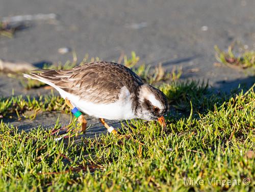 Shore Plover feeding