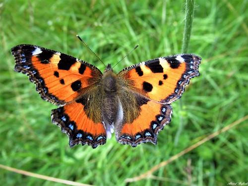 Butterfly 1810