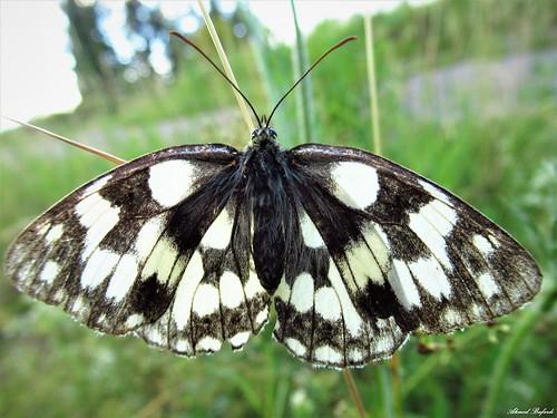 Butterfly 1811