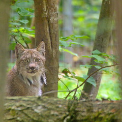 Lynx - Photo of Gastins