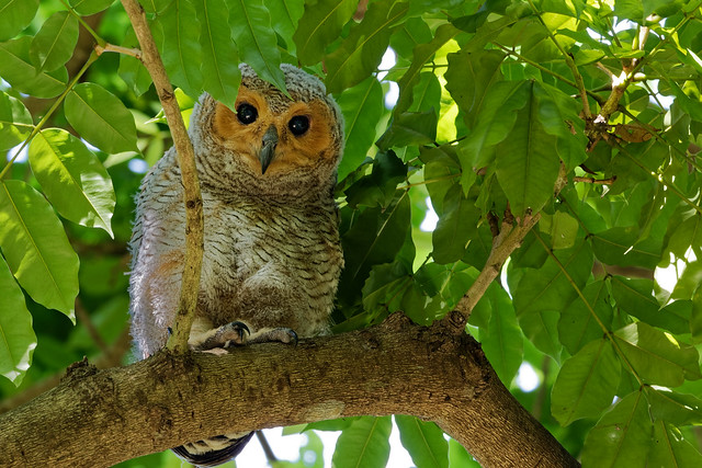 Spotted Wood Owl, juvi