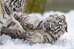 White tigresses playing in the snow