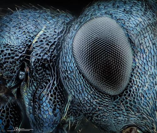 Pteromalidae 21x