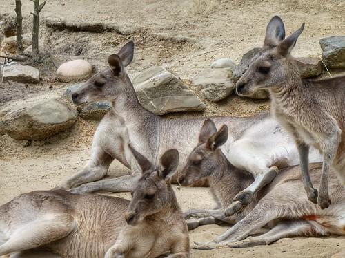 Easter Grey Kangaroos