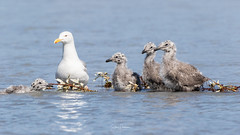 Image by spwasilla (spwasilla) and image name Getting your ducks in a row photo  about These gull chicks fought their way up a fast moving river to get to a dry spot.   The one on the far left was really struggling.