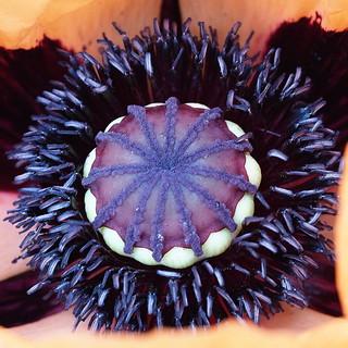 Inside a large Poppy