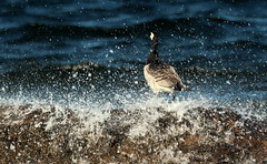 """The barnacle Goose"",,,on the stone,,,"