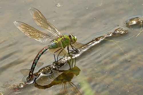 Libelle bei der Eiablage / Dragonfly laying eggs
