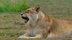 Le bonsoir de la Lionne