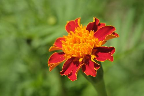Full Sun - French Marigold