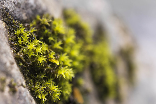 Moss or tiny lichen