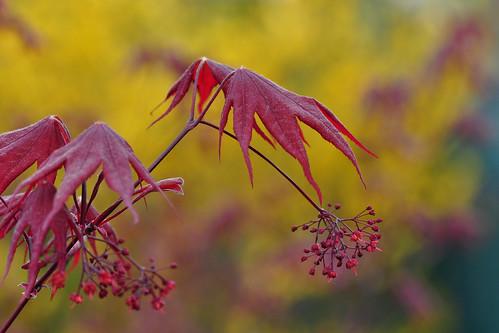 Japanese Maple in Spring (Acer Palmatum Bloodgood)