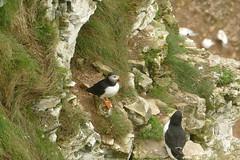 Puffin and Razorbill, RSPB Bempton Cliffs Seabird Centre