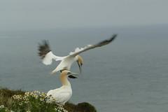 Gannets, RSPB Bempton Cliffs Seabird Centre