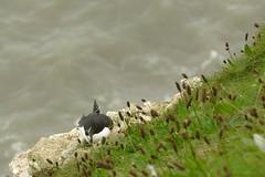 Razorbill, RSPB Bempton Cliffs Seabird Centre