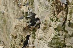 Razorbills, RSPB Bempton Cliffs Seabird Centre