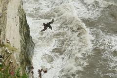 Puffin, RSPB Bempton Cliffs Seabird Centre