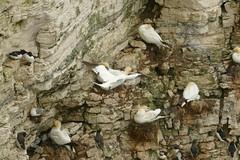 Nesting Gannets, RSPB Bempton Cliffs Seabird Centre